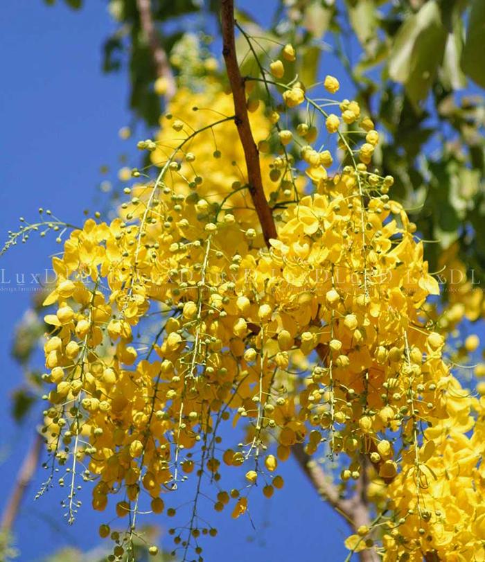 Muồng hoàng yến có hoa mọc thành chuỗi dài tuyệt đẹp, tán rộng, mọc nhanh