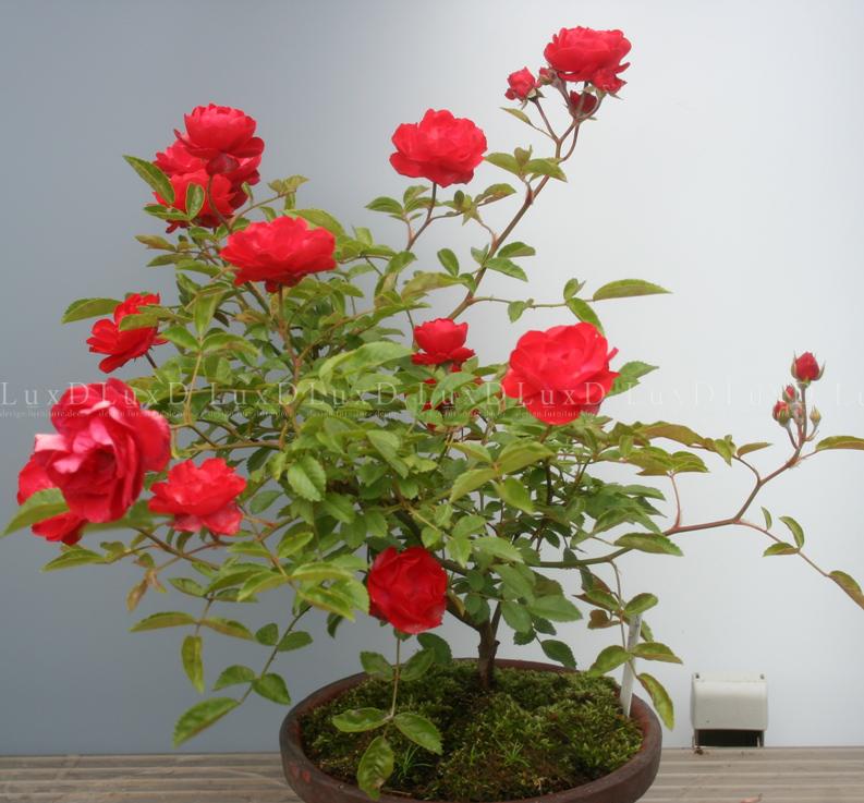 Hoa hồng vốn là biểu tượng của tình yêu mãnh liệt, sự hạnh phúc