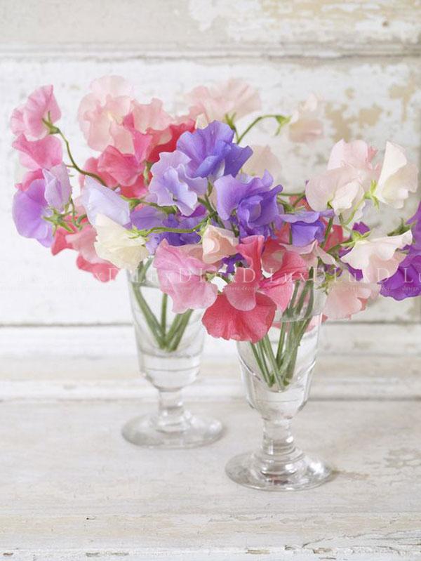 Hoa Đậu Thơm trang trí nội thất cực kỳ duyên dáng