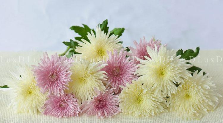 Hoa Cúc – Loài hoa mang nhiều ý nghĩa sâu xa