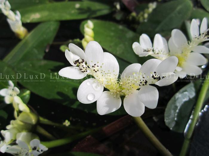 Hoa sơn trà nước có màu trắng li ti rất đẹp và có một mùi hương dễ chịu như hương vani