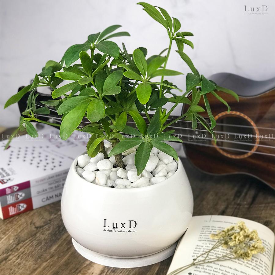 Chậu cây Ngũ Gia Bì in thương hiệu LuxD