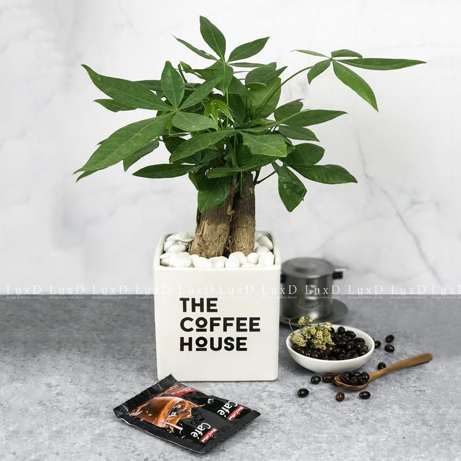 Chậu cây Kim Ngân thương hiệu The Coffee House