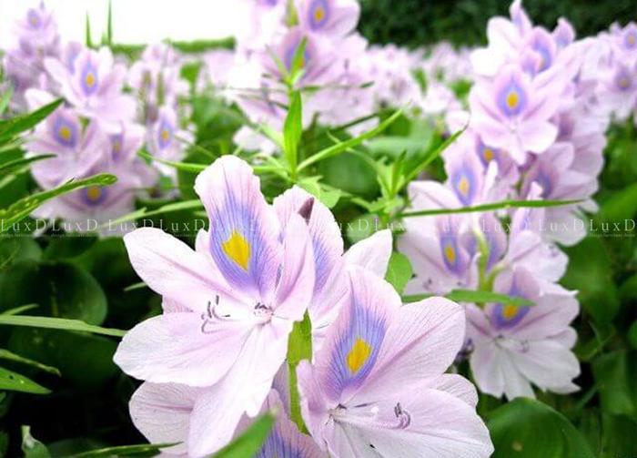 Lục bình là loài hoa gắn liền với tuổi thơ của những đứa trẻ ở thôn quê Việt Nam