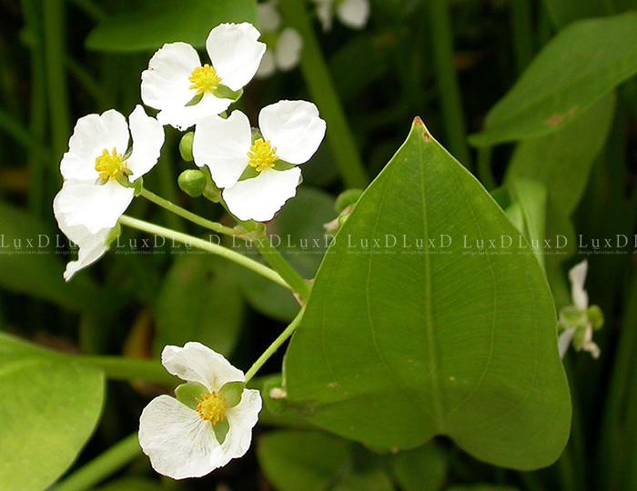 Hoa có 3 cánh tràng, lớn, màu trắng, nhị xếp thành nhiều vòng